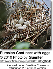 Eurasian Coot nest with eggs