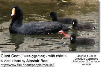 Giant Coot (Fulica gigantea) - with chicks