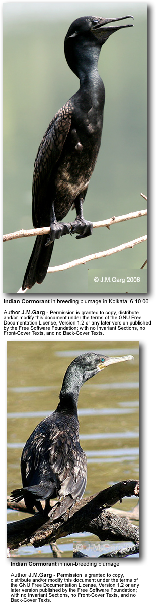 Indian Cormorants