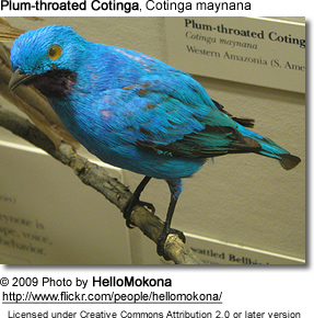 Plum-throated Cotinga, Cotinga maynana