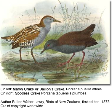 On left: Marsh Crake or Baillon's Crake, Porzana pusilla affinis. On right: Spotless Crake Porzana tabuensis plumbea