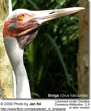 Brolga Head Detail