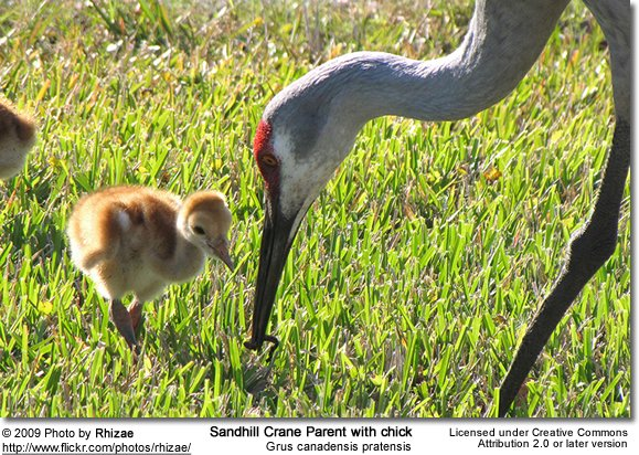 Sandhill Parent and chick