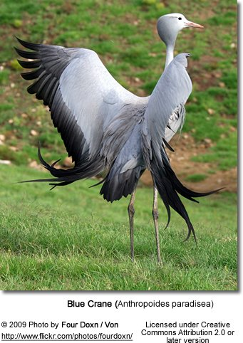 Blue crane spreading its wings