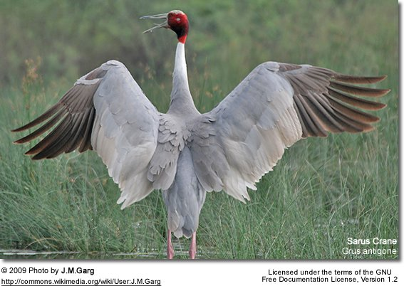 Sarus Crane - spreading its wings