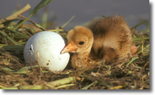 Sarus Crane Egg and Chick