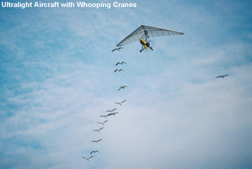 Whooping Cranes following Aircraft