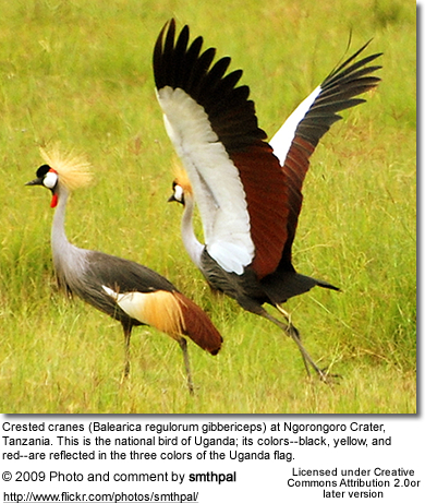 Crested Cranes.