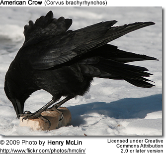 American Crow eating