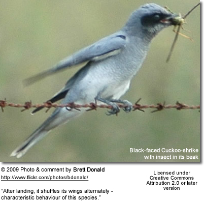 Black-faced Cuckoo-shrike with insect in its beak