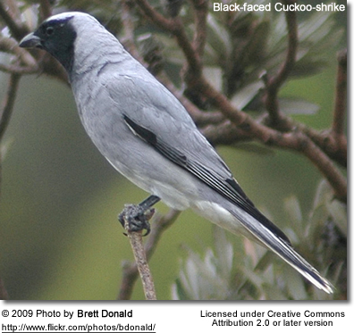 lack-faced Cuckoo-shrike