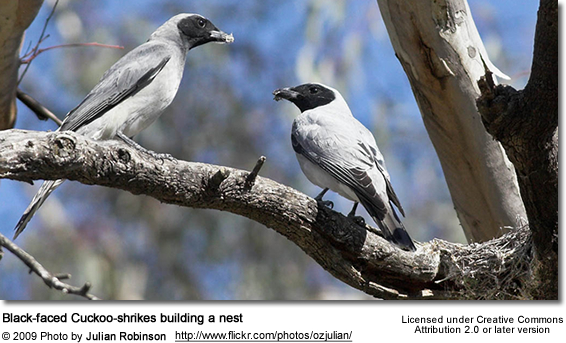 Black-faced Cuckoo-shrike pair building nest