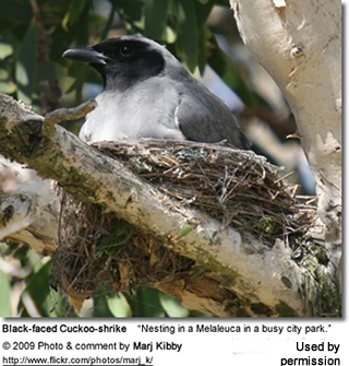 Nesting Black-faced Cuckooshrike