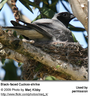 Nesting Black-faced Cuckoo-shrike