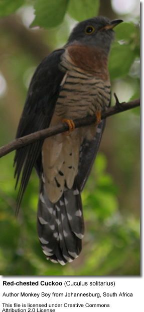 Red-chested Cuckoos