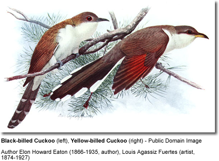 Black-billed and Yellow-billed Cuckoo - side-by-side