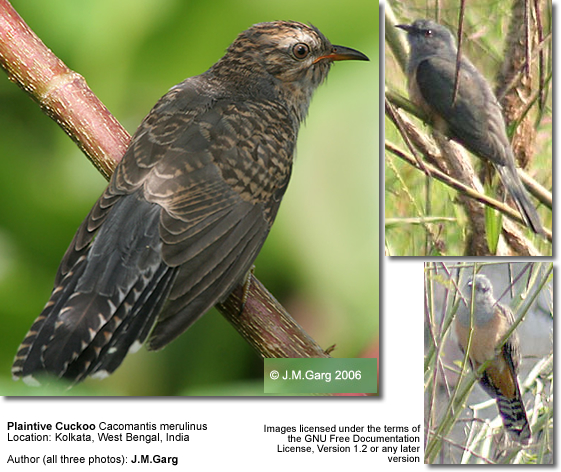 Plaintive Cuckoos