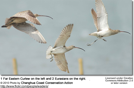 Comparison between Eurasian (1 left) and Far Eastern Curlews (2 right)