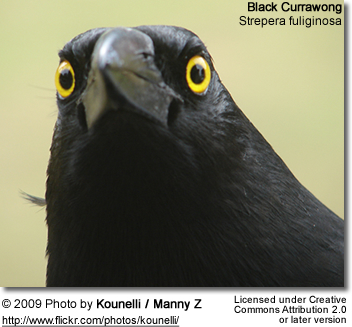 Black Currawong Head Detail