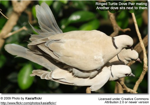 African collared dove vs eurasian collared dove - photo#26