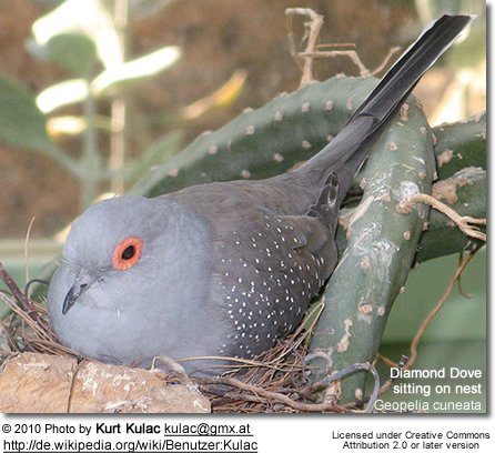 Diamond Dove (Geopelia cuneata)  - sitting on nest