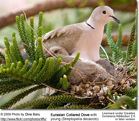 Eurasian Collared Dove with chicks