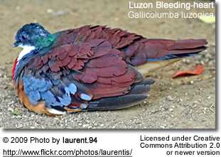 Luzon Bleeding Heart