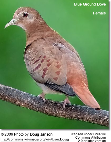 Female Blue Ground Dove