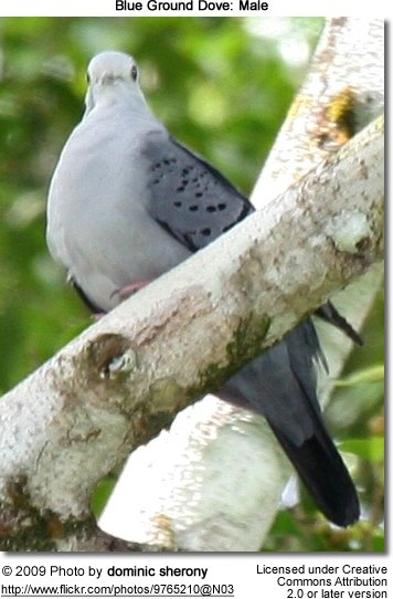 Male Ground Dove