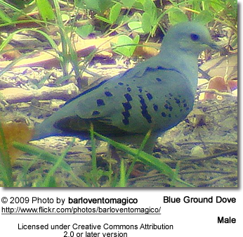 Blue Ground Dove Male