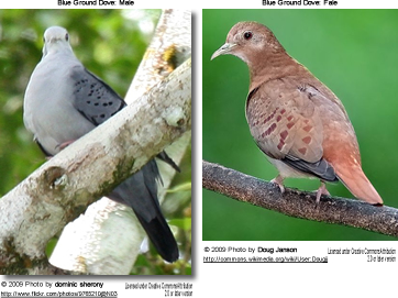 Blue Ground Doves