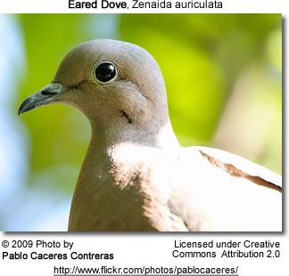 Head Details: Eared Dove