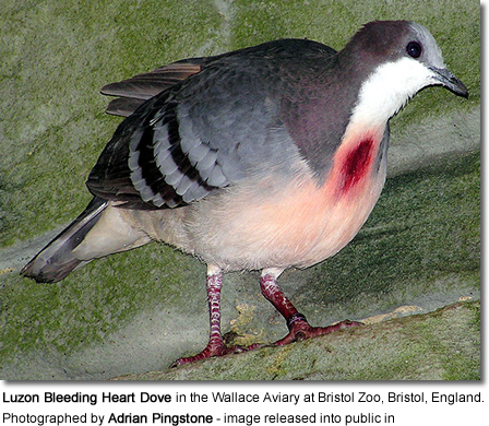 Luzon Bleeding-heart Doves | Beauty of Birds