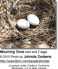 Mourning Dove nest and 2 eggs