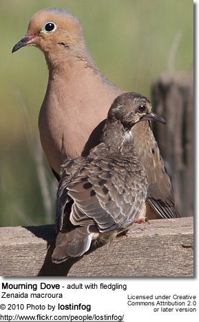 Mourning Dove - adult with fledgling