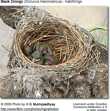 Black Drongo Hatchlings