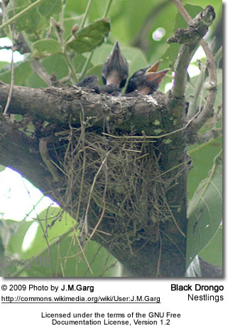 Black Drongo Nestlings