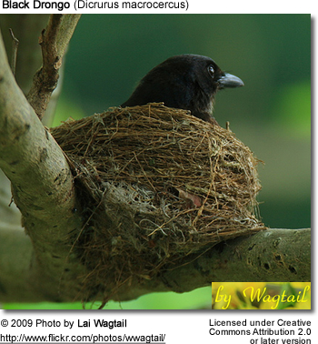 Black Drongo on nest