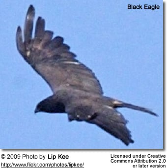 Black Eagle in flight
