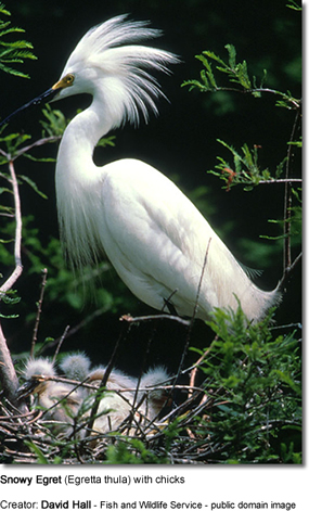 Snowy White Egret with Chicks