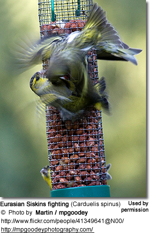 Eurasian Siskins fighting (Carduelis spinus)
