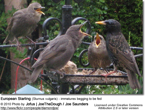 European Starling (Sturnus vulgaris) - immatures begging to be fed
