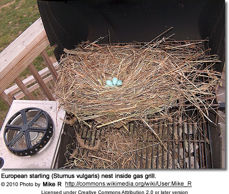 European starling (Sturnus vulgaris) nest inside gas grill.