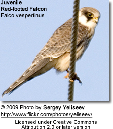 Juvenile Juvenile Red-footed Falcon