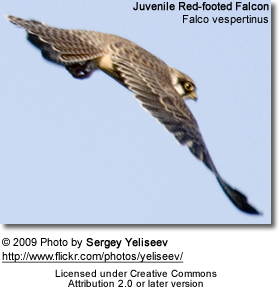 Red-footed Falcon Juvenile in flight