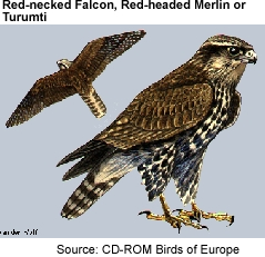 Red-necked Falcon aka Red-headed Merlin or Turumti