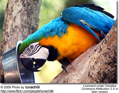 Hungry Blue and Gold Macaw
