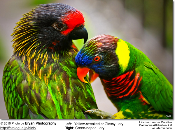 Featured Bird Photograph: Green-naped Lories & Yellow