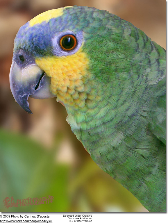 Orange-winged Amazon Parrot - featured photo