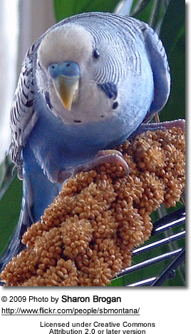 Parakeet with milletspray